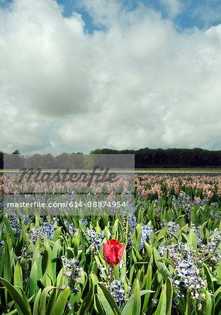 Tulip in wilting hyacinth fields, Egmond, Netherlands