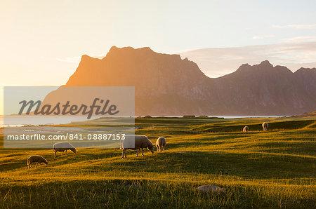 Sheep grazing in the green meadows lit by midnight sun reflected in sea, Uttakleiv, Lofoten Islands, Northern Norway, Scandinavia, Europe