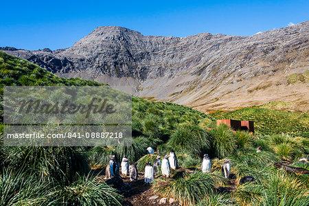 Gentoo Penguin (Pygoscelis papua) colony, Godthul, South Georgia, Antarctica, Polar Regions