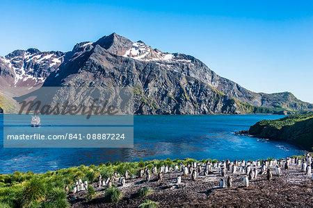 Gentoo penguin colony on the edge of the bay of Godthul, South Georgia, Antarctica, Polar Regions