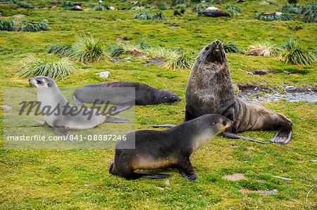 Antarctic fur seals (Arctocephalus gazella), Grytviken, South Georgia, Antarctica