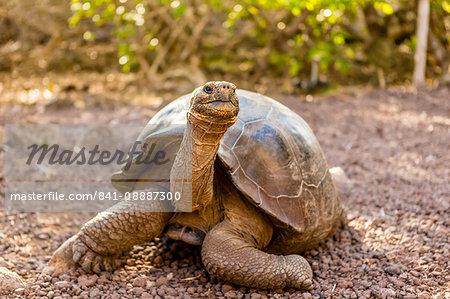 Land Tortoise on Epanola Island, Galapagos Islands, Ecuador, South America