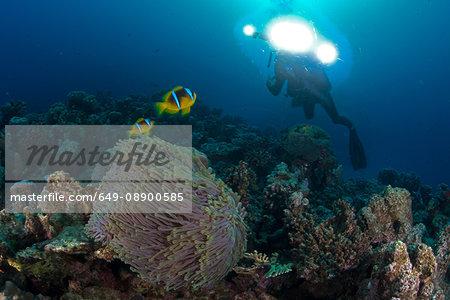 Scuba diver by Clownfish (amphiprion bicinctus), Marsa Alam, Egypt