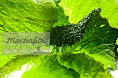 Light shining through savoy cabbage leaves (full-frame)