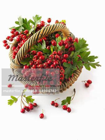 Freshly harvested hawthorn berries in a basket