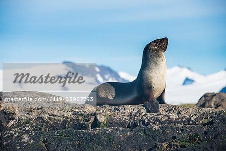 Antarctic fur seal (Arctocephalus gazella), Salisbury plain, South Georgia, Antarctica, Polar Regions