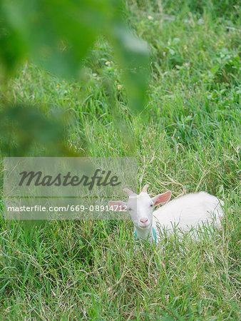 Goat in Obamashima