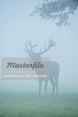 Male, red deer (Cervus elaphus) standing in a field in the morning mist during rutting season in Europe