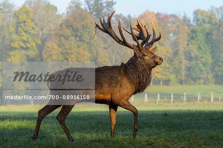 Portrait of a male, red deer (Cervus elaphus) walking in a feild during rutting season, Europe