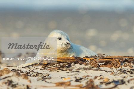 Portrait of grey seal pup (Halichoerus grypus) lying on beach in Europe