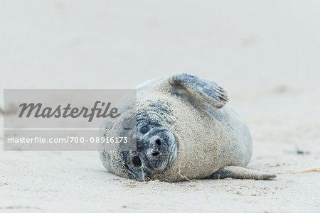 Portrait of a grey seal (Halichoerus grypus) lying on sandy beach in Europe