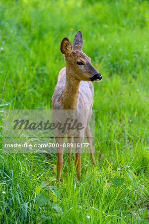Portrait of roe deer (Capreolus capreolus) standing in field of grass in spring, Germany