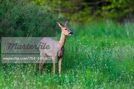 Watchful roe deer (Capreolus capreolus) standing in grassy field, Germany
