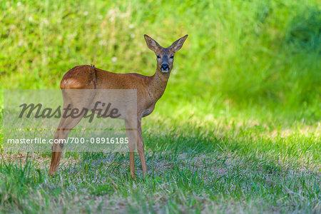 Portrait of roe deer (Capreolus capreolus) looking at camera and standing in field in summer, Germany