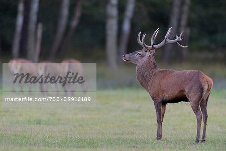 Adult animal, red deer (Cervus elaphus) standing in a field during rutting season in Germany