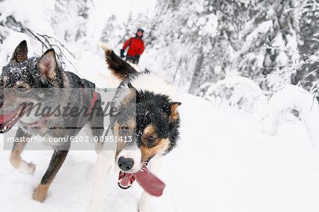 Siberian Huskies pulling sleigh with man