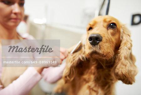 Female groomer brushing cocker spaniel at dog grooming salon