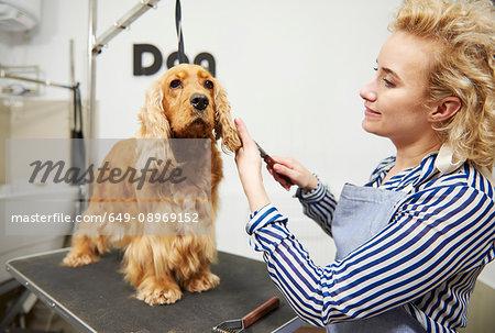 Female groomer brushing cocker spaniel's ears at dog grooming salon