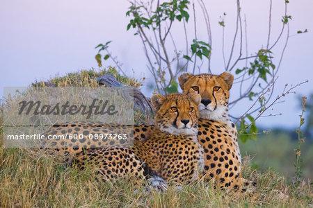 Portrait of two cheetahs (Acinonyx jubatus) lying in grass together at the Okavango Delta in Botswana, Africa