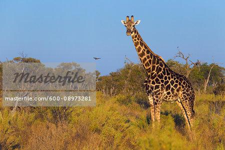 Portrait of a southern giraffe (Giraffa giraffa) standing in a field looking at the camera at the Okavango Delta in Botswana, Africa