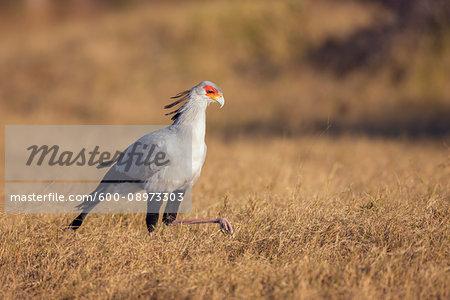 Profile portrait of a secretary bird (Sagittarius serpentarius) walking in a grassy field at the Okavango Delta in Botswana, Africa