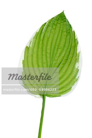 Close-up of a Hosta sieboldii leaf on a white background, Germany
