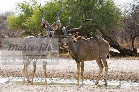 Two Greater kudu males (Tragelaphus strepsiceros), at waterhole, Kalahari, Botswana, Africa