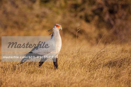 Secretary bird (Sagittarius serpentarius) walking through grassland at the Okavango Delta in Botswana, Africa