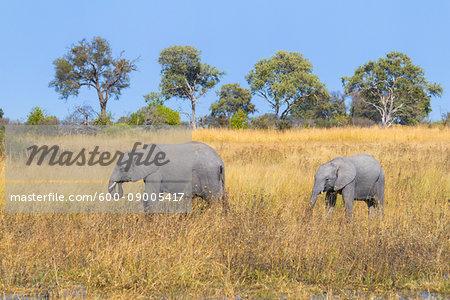African bush elephants (Loxodonta africana) walking through grasslands at the Okavango Delta in Botswana, Africa