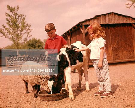 1960s FARM CHILDREN BOY AND GIRL IN BARNYARD FEEDING A SHEEP AND A HOLSTEIN CALF