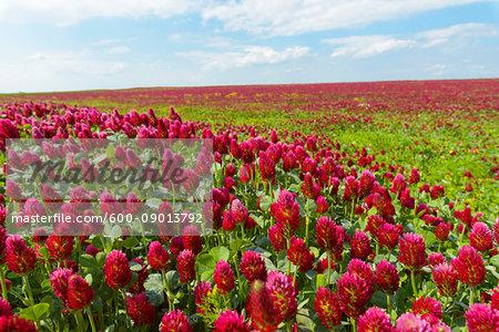 Field of crimson clover (Trifolium incarnatum) on a sunny day in Burgenland, Austria