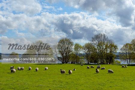 Blackface Sheep herd grazing in meadow beside Loch Awe in Scotland