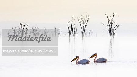 Pelicans in Lake Nakuru, Rift Valley, Kenya