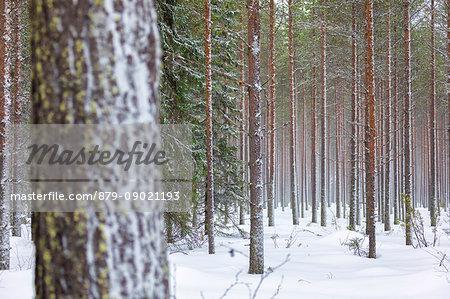 Details of tree trunks in the snowy woods Alaniemi Rovaniemi Lapland region Finland Europe
