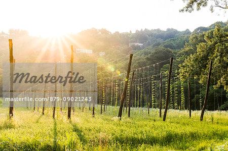 Hop fields around the historical monastery of Astino, Longuelo, Province of Bergamo, Lombardy, Italy, Europe