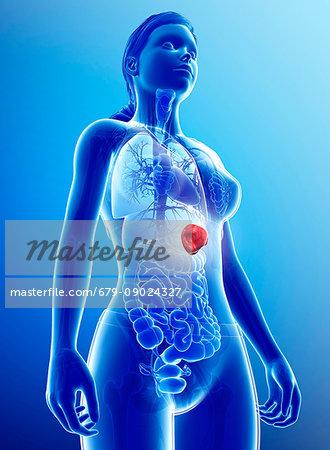 Illustration of female spleen.