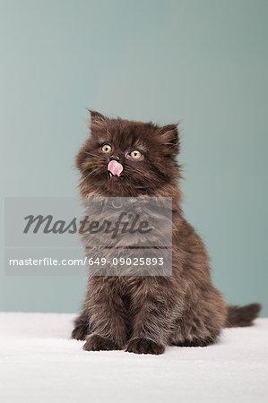 Persian kitten sticking out tongue