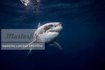Underwater view of white shark swimming in blue sea, Sinaloa, Mexico