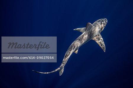 Underwater overhead view of sandbar shark swimming in blue sea, Jupiter, Florida, USA