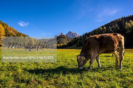 St. Johann in Ranui, Funes valley, Trentino Alto Adige, Italy. Grazing cows
