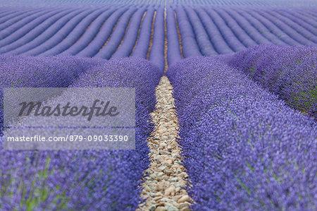 Valensole plateau, Provence, France. A lavender fields.