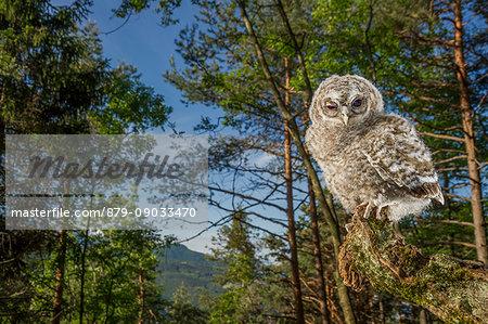 Baby tawny owl in the woods, Trentino Alto-Adige, Italy