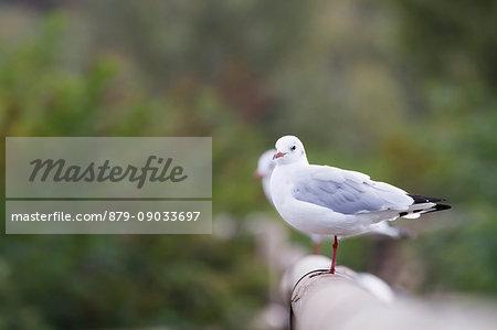 Sebino Natural Reserve, Lombardy. Black-headed gull
