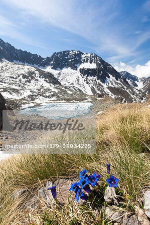 Gentians surround Lago Rotondo during summer thaw Val Malga Adamello Regional Park province of Brescia Lombardy Italy Europe
