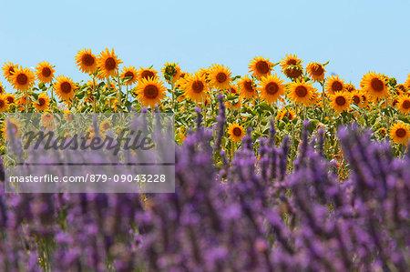 Europe, France,Provence Alpes Cote d'Azur,Plateau of Valensole.Lavender Field
