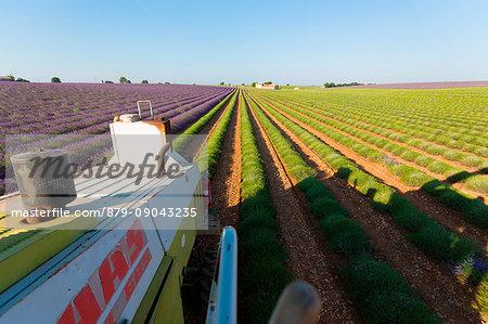Europe, France,Provence Alpes Cote d'Azur,Plateau de Valensole.Harvesting first rows of lavender