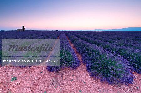 Europe, France,Provence Alpes Cote d'Azur,Plateau de Valensole .
