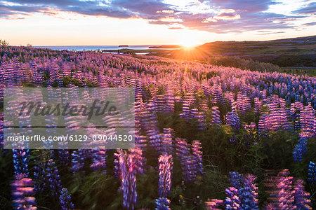 Husavik, Nordurland region, Northern Iceland. Field of lupins under the midnight sun.