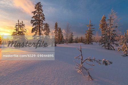 The lights of the arctic sunset illuminate the snowy woods Vennivaara Rovaniemi Lapland region Finland Europe