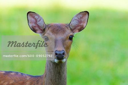 Close-up portrait of female, Japanese Deer (Cervus nippon) in Hesse, Germany
